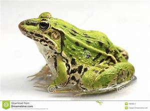 Green Frog Designs : green frog royalty free stock photography image 18948577 ~ Markanthonyermac.com Haus und Dekorationen