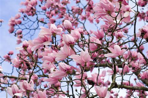 time  prune magnolia trees