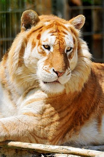Golden Tiger Tabby Strawberry