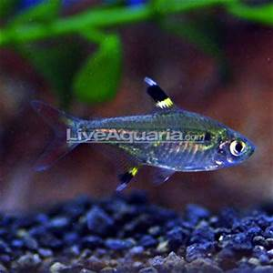 17 Best images about tetras danios rasboras on Pinterest