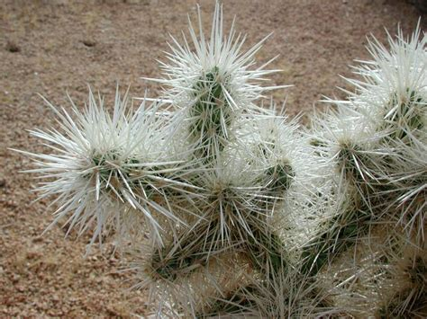 cholla cactus joshua tree national park la the paul getty museum 2003 11 08 to 09