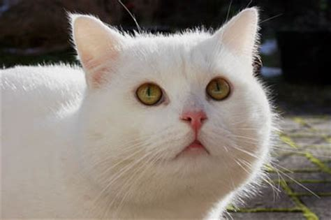 white cat names white cats breeds names deafness in white cats cat world
