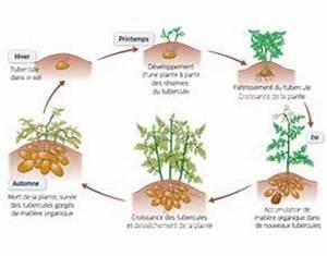 Période Pour Planter Les Pommes De Terre : le cycle de vie de la pomme de terre svtice ~ Melissatoandfro.com Idées de Décoration