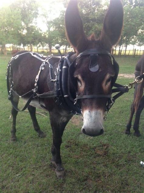 donkey harness mini mule standard cart