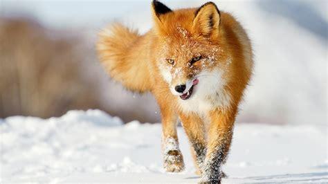 Ein Fuchs Im Winter Schnee 1920x1200 Hd Hintergrundbilder