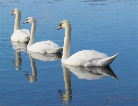 image gallery swimming swans