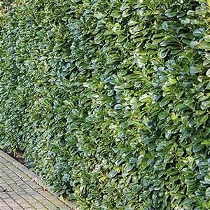 Hecke Schnell Wachsend : kirschlorbeer etna pflanzen janssen gmbh ~ Whattoseeinmadrid.com Haus und Dekorationen