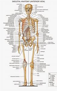 Human Skeleton Pictures With Labels Human Skeleton Diagram ...