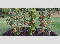 Cordon Fruit Trees How to Get the Best Harvest From a