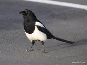 American Magpie Bird