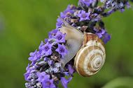 Lavender Flower Screensaver