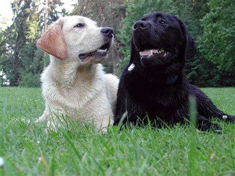 Tudo Sobre A Raca La Dor Tudo Sobre Cachorros