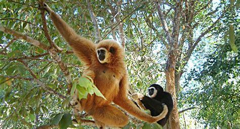 khao sok national park rainforest gibbon call