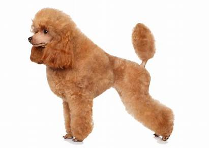 Poodle Toy Petcoach Facts Breed Appearance General