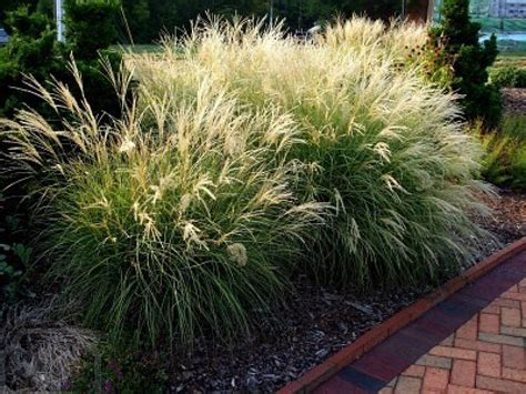decorative grass ornamental grass images