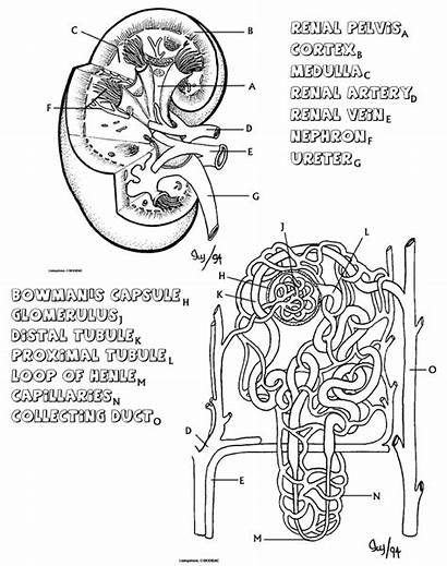 Kidney Anatomy Nephron Coloring Biology Libretexts Questions