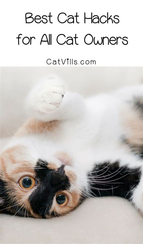 best for cat owners 47 best images about british blue shorthair cats and more on pinterest
