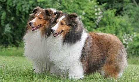 sheltie shed shetland sheepdog breed information