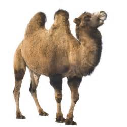 How does a camel turn fat into water? | How It Works Magazine