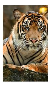 Tiger Paws 4k, HD Animals, 4k Wallpapers, Images ...