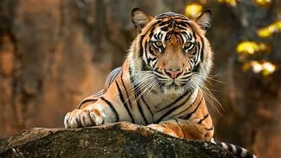 Tigre Parede Papel Animal 4k Ultra Predator