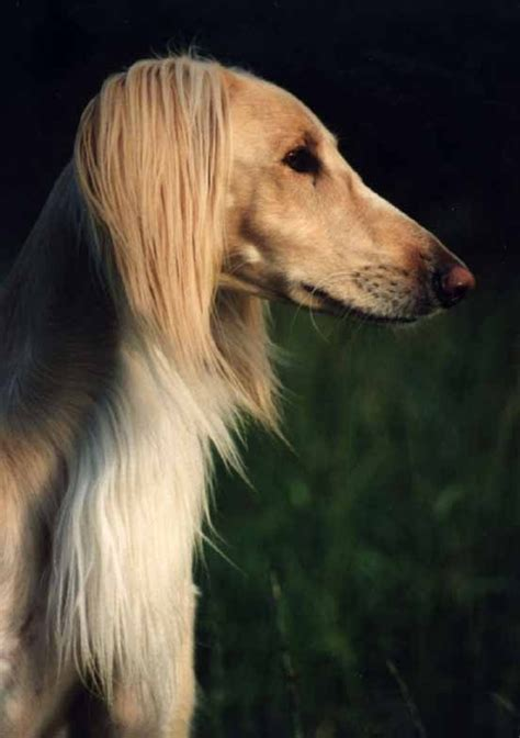 images  dogs hounds salukis  pinterest