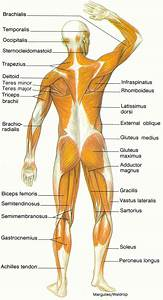 Diagram Of Muscular System   Biological Science Picture