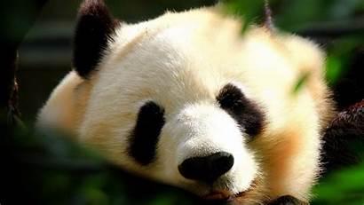 1080p Wallpapers Animal Funny Animals Panda Wallpapersafari
