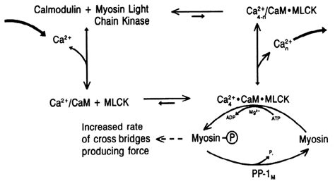 Myosin Light Chain Kinase by Myosin Light Chain Kinase Mlck Decoratingspecial
