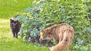 Fuchs im garten fuchs im garten etzen live fuchs im for Französischer balkon mit fuchs im garten vertreiben