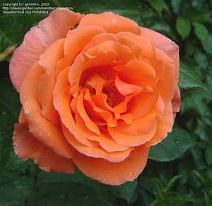 plantfiles pictures hybrid tea rose 39maria stern39 rosa With katzennetz balkon mit rose garden parfum