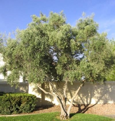 fruitless olive tree growth rate fruitless olive horticulture unlimited