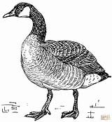 Coloring Goose Canada Printable Drawing Paper sketch template