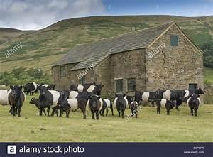 Herd Auf Englisch : belted galloway hausrind stier k he und k lber herde auf der weide neben stein stehend feld ~ Orissabook.com Haus und Dekorationen