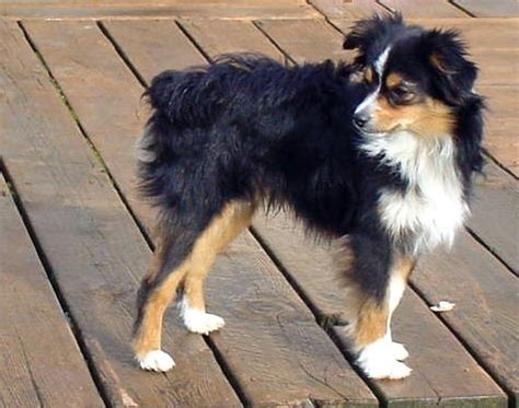 chihuahuaaussie shepherd mix perfect dog