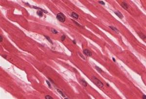 10 7 Cardiac Muscle Tissue  U2013 Anatomy And Physiology