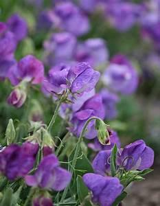 Keimzeit Saatgut De : zwergwicke 39 cupid purple 39 ~ Lizthompson.info Haus und Dekorationen