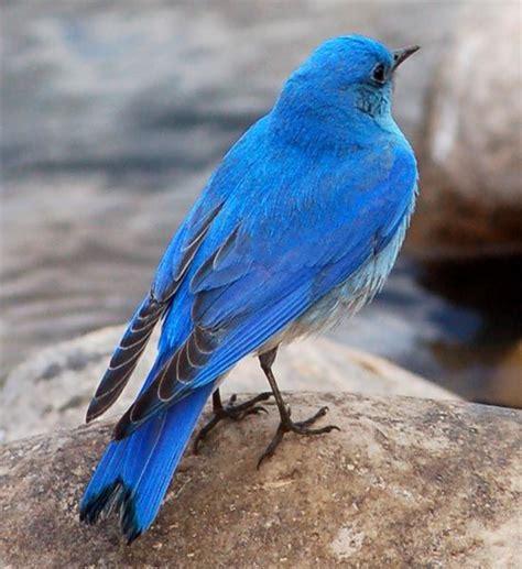 nevada state bird mountain bluebird this flamboyant