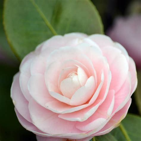 light pink flowers flowers camellia flower
