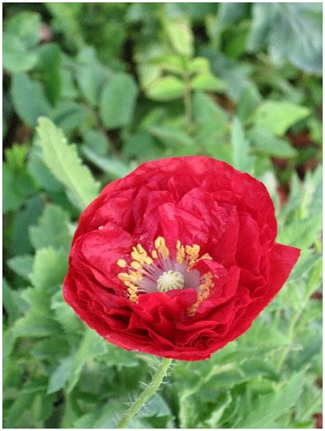 growing poppies creative country mom growing from seed oriental poppies