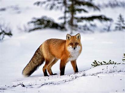 Fox Wallpapers Animal Cool Foxes Background Desktop