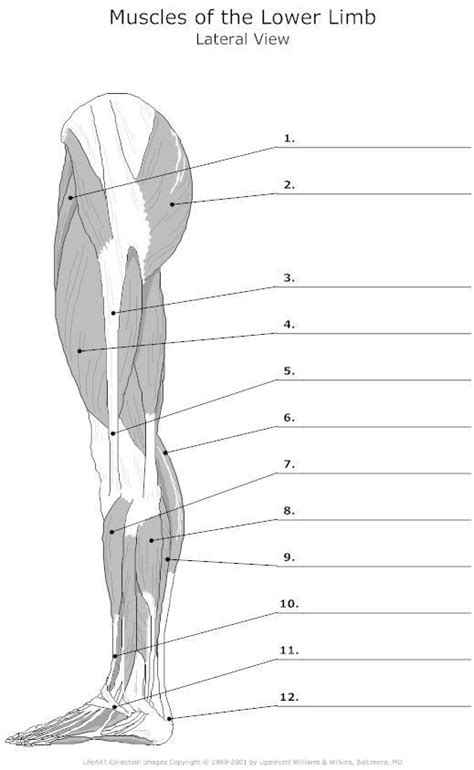 .back body bodybuilding bursa buttocks chart deltoid elbow fitness gluteus gluteus maximus gracilis health healthy human human anatomy 3d isolated on white joint label latissimus dorsi ligament lower back muscles male medical medicine model muscle muscle anatomy muscular muscular system. muscle blank drawing - Google Search | Human anatomy and physiology, Anatomy, Anatomy and physiology