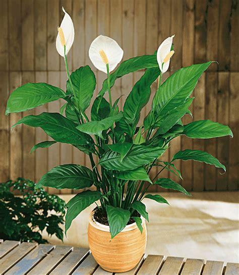 Zimmerpflanze Einblatt Haltung Pflege by Einblatt Top Zimmerpflanzen Kaufen Baldur Garten