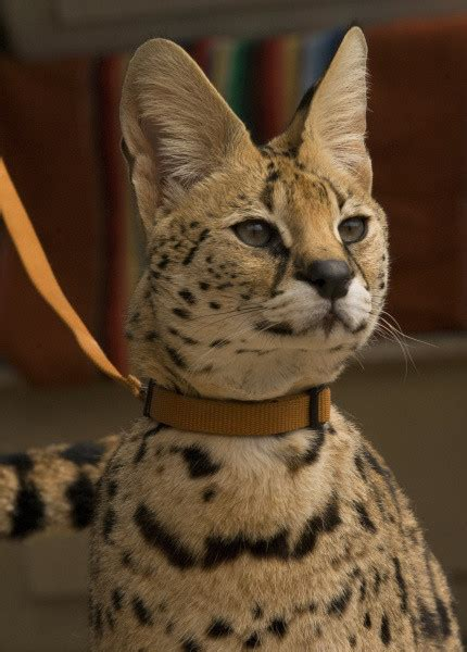 owner  exotic cats cited  los alamitos orange county