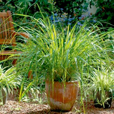 buy citronella grass buy citronella plant online at nursery live best plants at lowest price