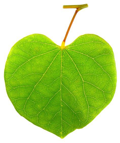 eastern redbud leaf ufei selectree a tree selection guide