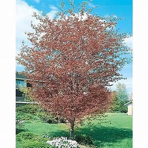 Shop 13-Gallon Washington Hawthorn Flowering Tree (L7331