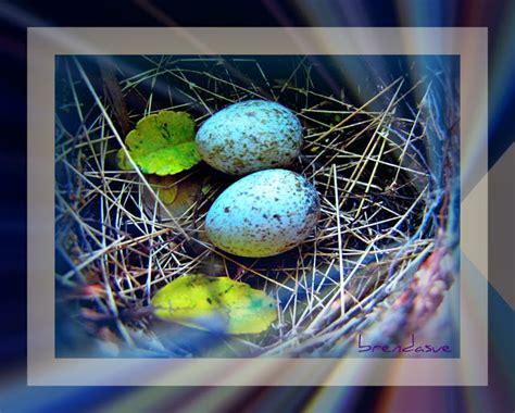 when do cardinals lay eggs bird in everything cardinal bird eggs