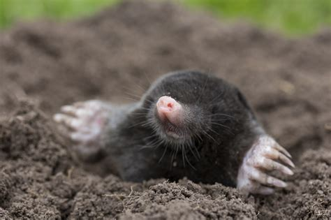 Mole Control In Northwest Arkansas  Natural State Pest Control