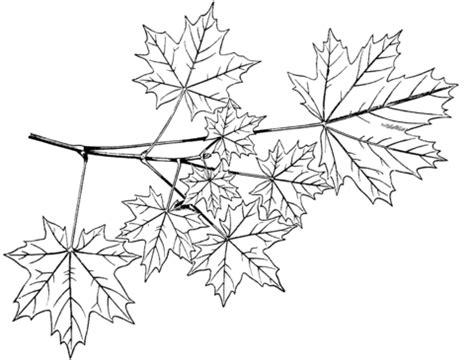 coloriage branche derable plane ou erable de norvege